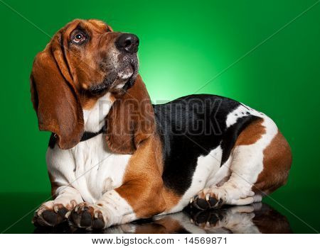 Basset Dog On Green Background