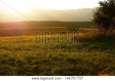 wild wolf in beautiful meadow landscape with beaming sunlight