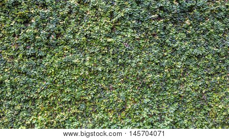 Background of climbing fig or creeping fig on wall.