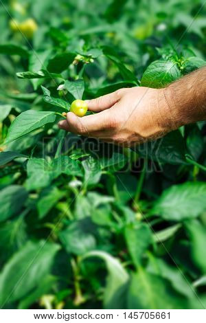 Farmer harvested ripe peppers in a greenhouse