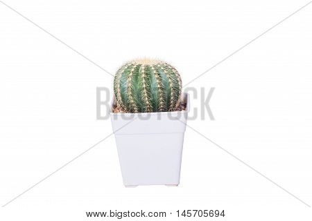 cactus flower white background isolate with clipping path for decorate design