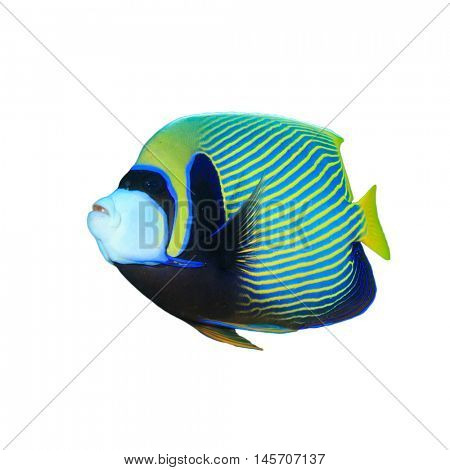 Isolated fish. Tropical fish cutout. Emperor Angelfish on white background