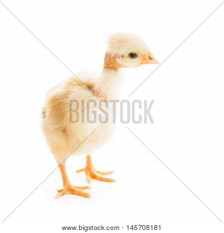 Cute yellow chick with open nib isolated. Glamour chicka concept. Old skinny chick