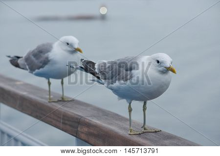 Two seagulls sitting on a railing at the ocean near the harbour