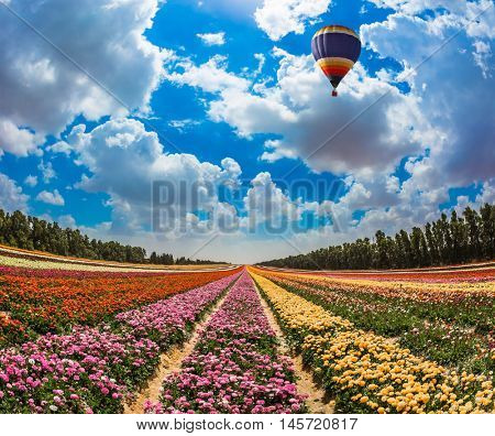 Warm spring day in Israel. Field of blossoming garden buttercups-ranunculus. Large bright balloon flying over flowers