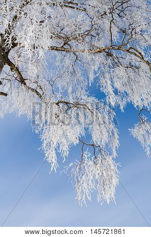 A crown of tree in winter with hoar-frost