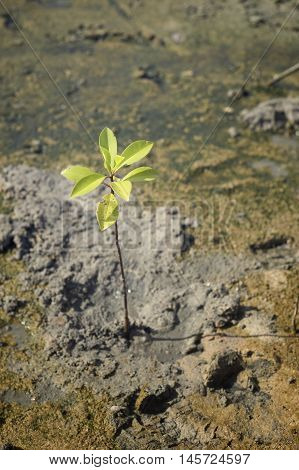 portrait of a young mangrove tree on a mud field,selective focus,filtered image