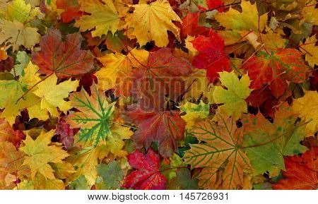 Fall colourful autumn maple leaves background