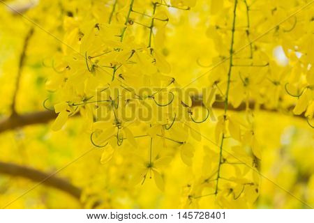 Golden Shower or Cassia Fistula, national tree of Thailand