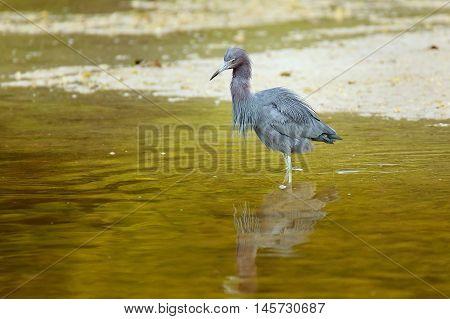 Little Blue Heron Wading In Water