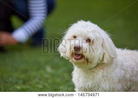White Havanese Dog Sitting In The Green Grass In The Garden