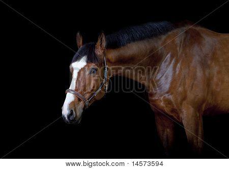 bay horse on black