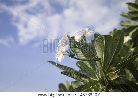 white Plumeria flowers on a plumeria tree blue sky in background
