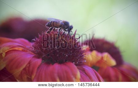 A Honey Bee on a Blanket Flower Gaillardia aristata