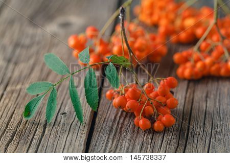 Ripe Rowan berry on the wooden table