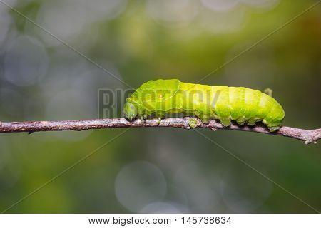 Paris Peacock Caterpillar