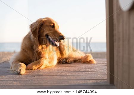 Golden Retriever on the Beach with life guard tower