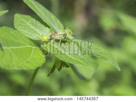Green Grasshopper a garden pest on Comphrey Leaves in natural garden environment