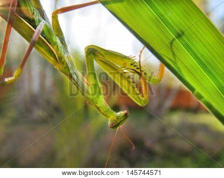 Mantis sitting on a leaf plants upside down