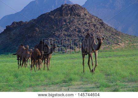 Camel Safari from wadi hali, Saudi Arabia