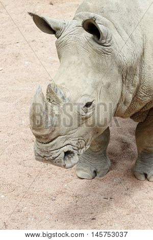 a rhinoceros White shows his mighty horn