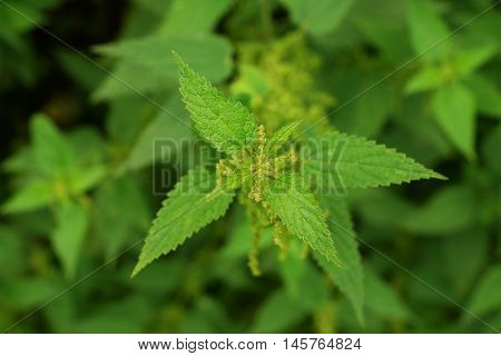 Stinging nettle Urtica dioica in a field