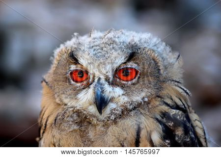 eagle, owl, eyes, orange, bird, portrait, head