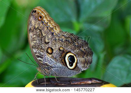 caligo, papilio, butterfly, eye, america, beauty, nature, wild, green