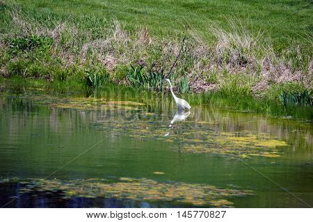 A great egret (Ardea alba) hunts for fish in a small lake in Joliet, Illinois during May.