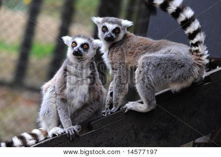 Lémures de anillo Animal cola Zoo