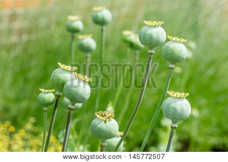 Closeup of green poppy seed pods in a garden