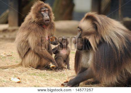 Gelada animales de zoológico