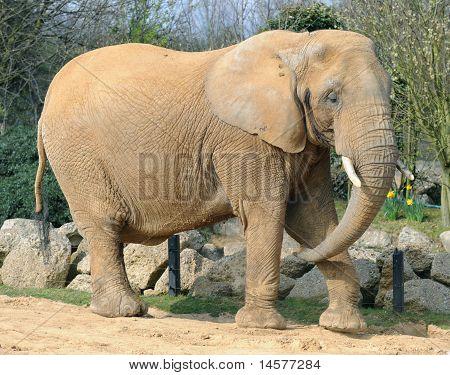 Elefante de animales de zoológico
