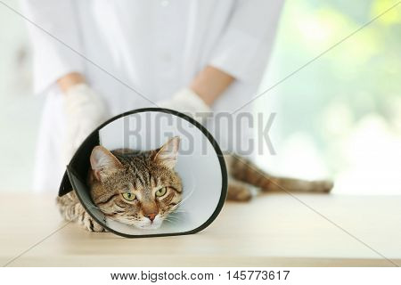 Veterinarian doctor with cat in a cone at a vet clinic