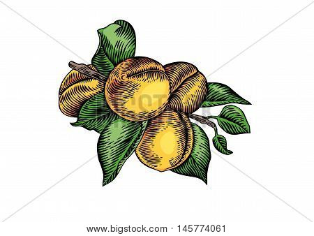 Drawing of branch of apricot with fruit and leaves