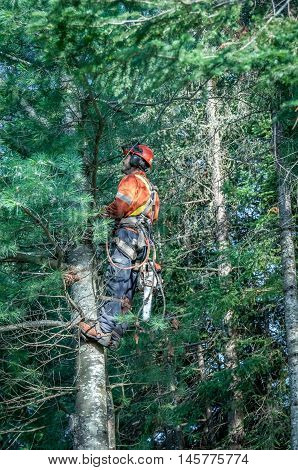 Quebec Canada - August 5 2016 : Professional lumberjack cutting tree on the top with a chainsaw in Quebec country Canada