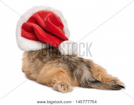 Back view of a funny lying Bichon Havanese puppy dog in Christmas hat - Isolated on a white background