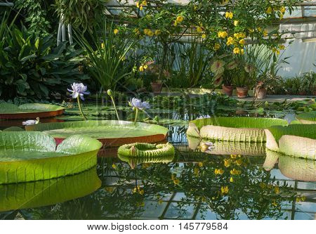 Victoria Amazonian Water Lily Huge floating lotus