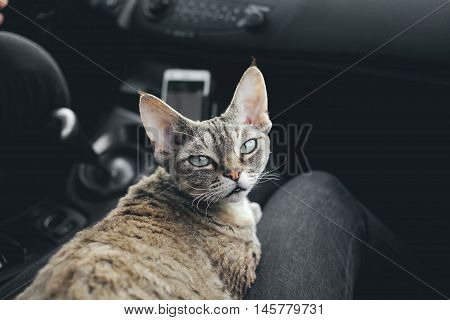 Cat is traveling in a car. Adorable devon rex cat is sitting on a lap and enjoying the road