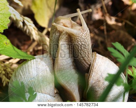 Edible Snail (helix Pomatia) In Courtship