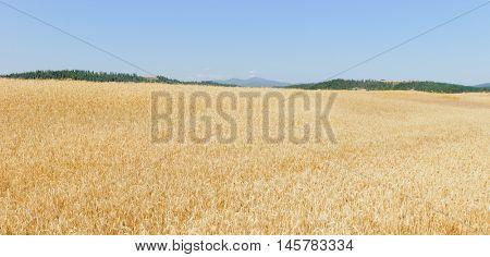 Scenic farmland with fields of wheat in Washington