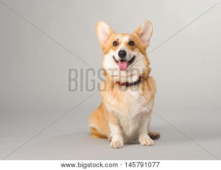 dog on a gray background in the studio shooting welsh corgi pembroke