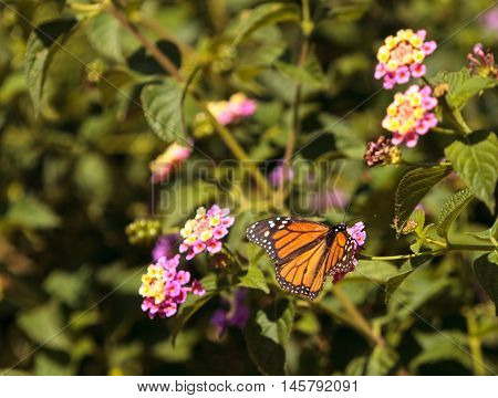 Monarch butterfly, Danaus plexippus, on a butterfly bush in spring in Laguna Beach, Southern California