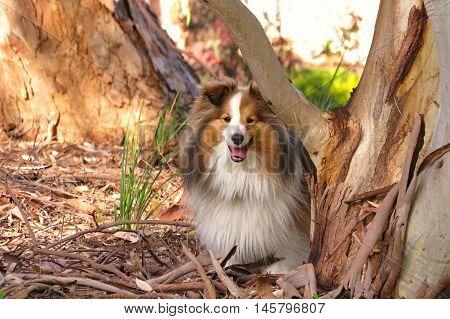 Shetland sheepdog in the park. A happy sheltie.