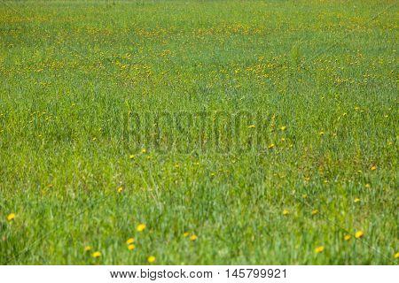 Fresh Background of a green grass. Spring Field texture