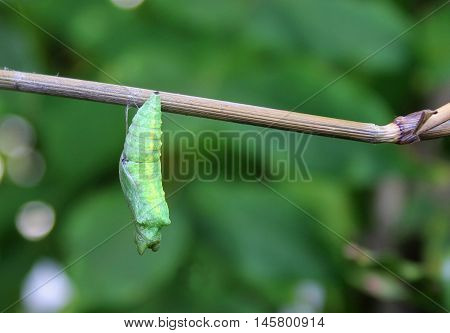 Green cocoon or chrysalis swallowtail butterfly hanging from branch with natural green background.