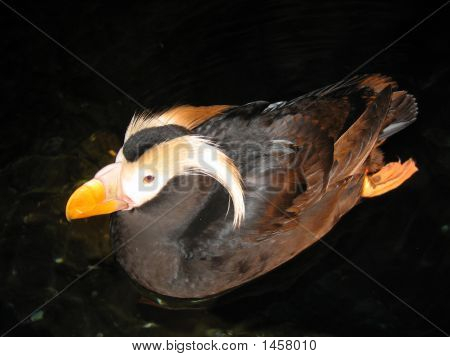 Swimming Tufted Puffin
