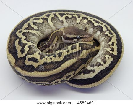 Female Pastel Mojave Leopard Ball Python female curled into ball on a white background.