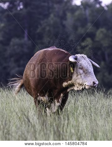 Hereford bull with a swarm of horn flies buzzing around him in a field of tall grasses