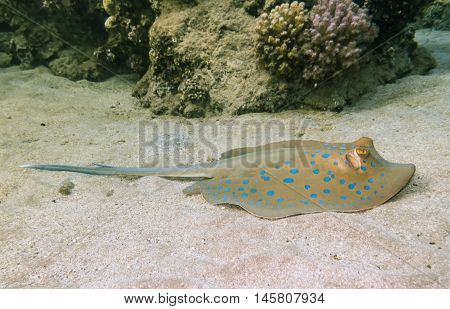 Blue Spotted stingray. Marine Life in the Red Sea. Egypt